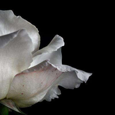 Cultivo una rosa blanca...